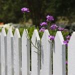 weißer Gartenzaun mit lila Blüten